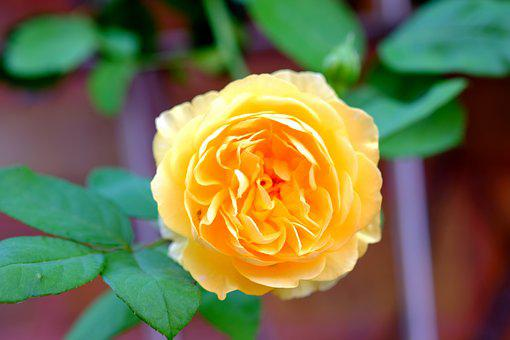 Rose, Yellow, Flower, Rose Blooms, Yellow Rose, Blossom