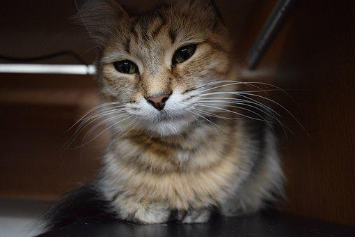 Cat, Kitten, Animal, Pet, Cute, Domestic, Young, Kitty