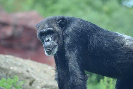 Zoo, Close, Chimpanzee, Monkey, Old, Africa