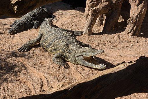 Crocodile, Animal, Risk, Reptile, Alligator, Scale