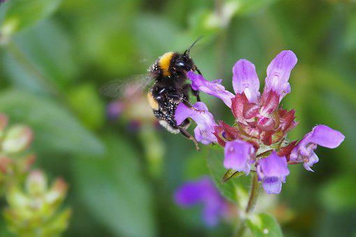 Hummel, Flower, Insect, Nature, Blossom, Bloom, Close
