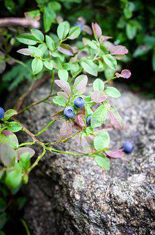 Blueberry, Nature, Blue, Delicious, Healthy, Fruit