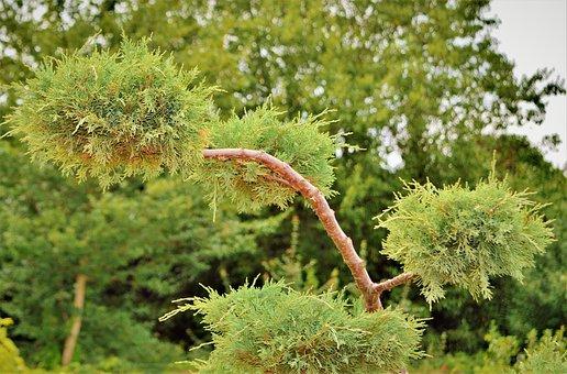 Shrub-juniper, Bush, Juniper, Plant, Tree, Nature