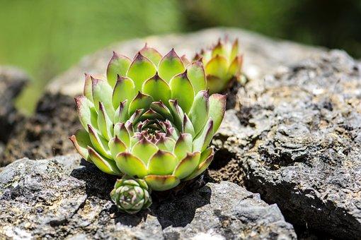 Cactus, Nature, Plant, Flora, Stone Garden, Macro