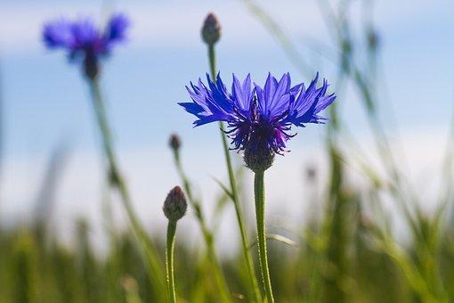 Cornflower, Blue, Wildflower, Floral, Season, Sky