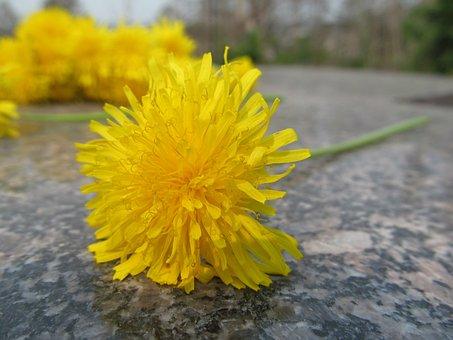 Dandelion, Flower, Chamomile, Summer, Closeup, Yellow