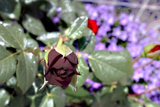 Rosa, Plant, Wild, Flower, Nature, Flowers, Petals