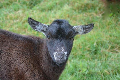 Goat Motte, No Horn, Ruminant, Young, Eat, Grass, Green