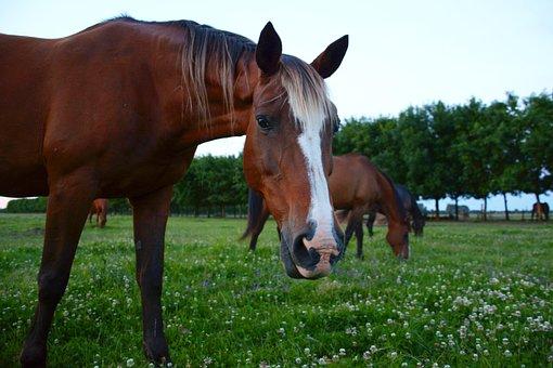 Horse, Horses, Horse Looks, Horse Looks At Camera