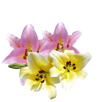Lilies, Lilies Flowers, Flowers, Yellow, Pink, Garden