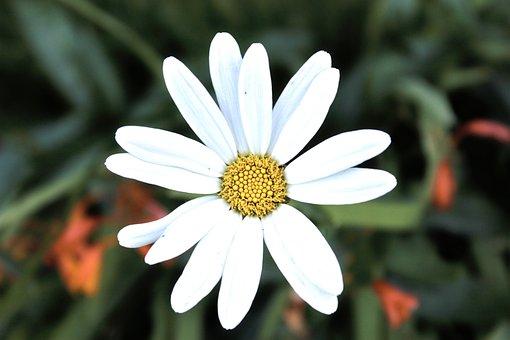 Daisy, Flower, White, Nature, Beauty, Petals, Garden
