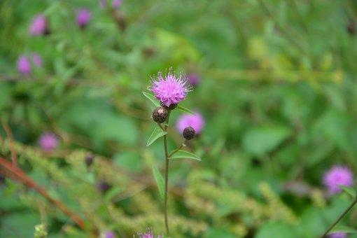 Flower Thistle Purple, Green, Foliage, Nature, Spice
