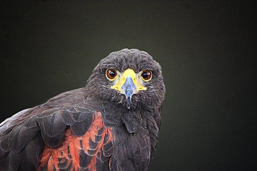 Falcon, Aguila, Wings, Eagle, Bird, Nature, Peak