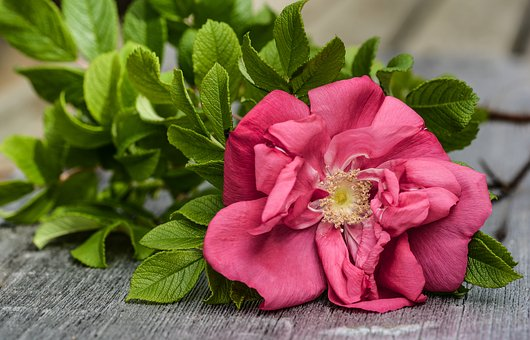 Rose, Wild, Pink, Bloom, Plank, Wooden, Background