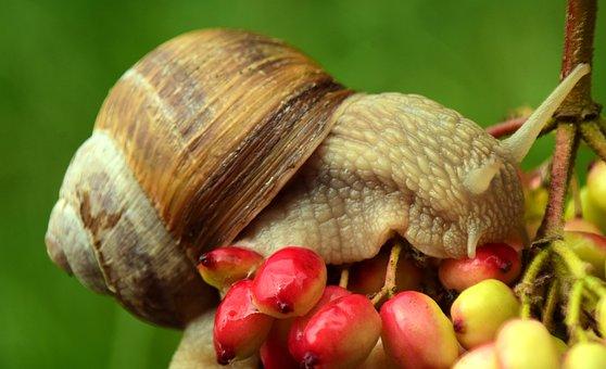 Snail, Crawl, Shell, Mollusk, Slowly, Nature, Macro