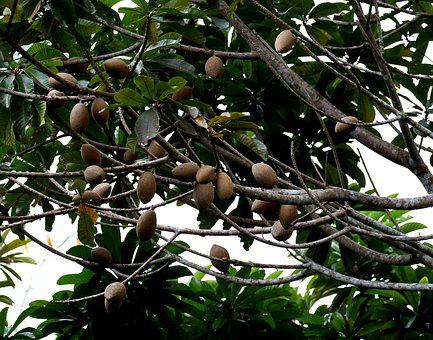 Mamey, Fruit, Cuba, Tree, Tropical, Exotic, Tasty, Seed