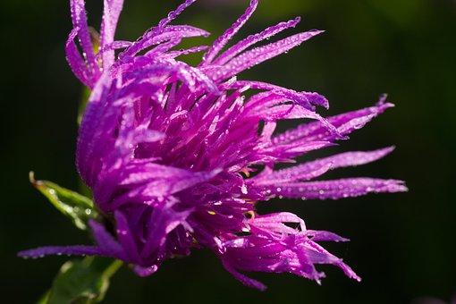 Thistle, Burdock, Flower, Nature, Wild, Flora, Blossom