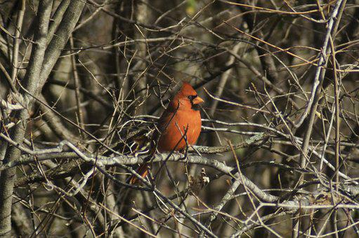 Cardinal, Bird, Trees, Nature, Red, Animal, Wildlife