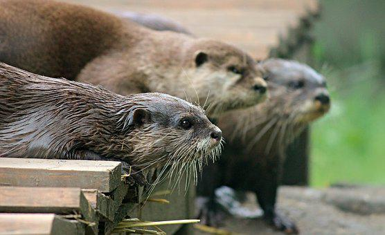 Otter, Fur, Cute, Animal, Water, Wildlife Photography