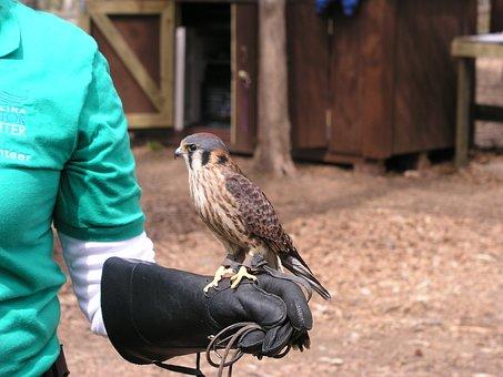 Bird, American, Kestrel, Sparrow Hawk, Wildlife