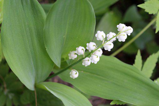 Plants, Flower, Lily Of The Valley, One, Sprig, Nature