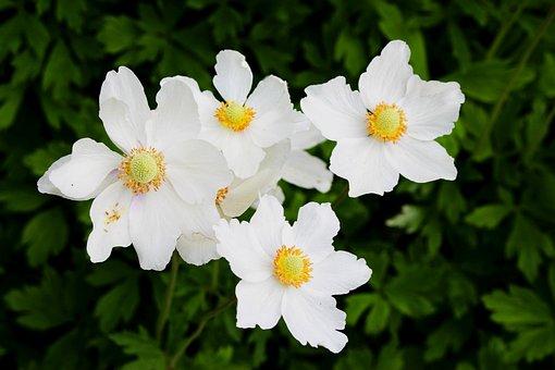 Plants, Flowers, Anemone White, Blooms, Closeup