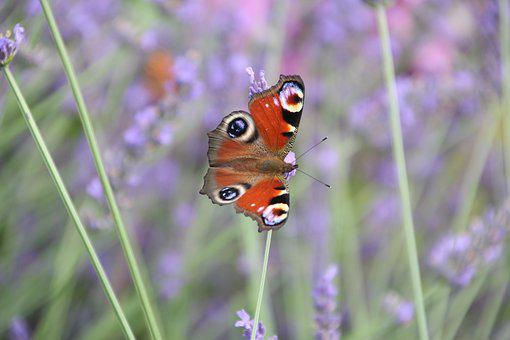 Butterfly, Lavender, Summer, Insect, Nature