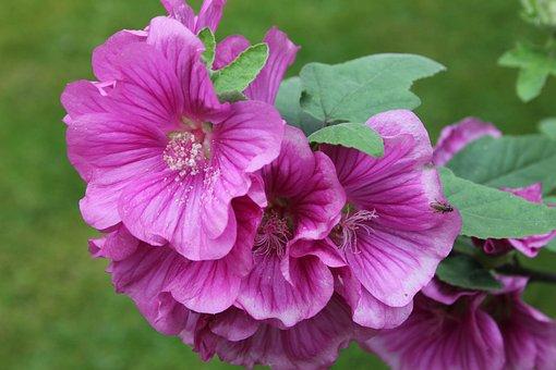 Lavatera, Shrub, Plant, Flower, Pink, Petals, Garden