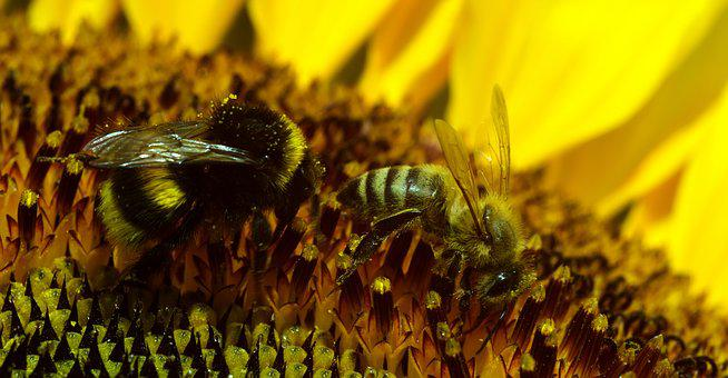 Hummel, Bee, Blossom, Bloom, Insect, Pollination