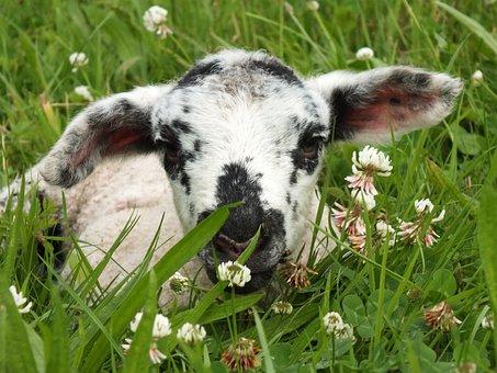 Lamb, Sheep, Schäfchen, Young Animals, Animal World