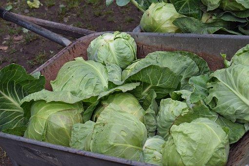 Cabbage, Fresh, Vegetable, Vegetables, Fresh Vegetables