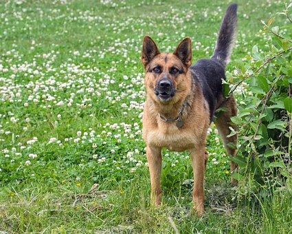 Dog, German Shepherd, Grass, Guardian, Vigilant