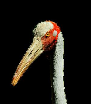 Brolga, Australian Crane, Bill, Feather, Plumage
