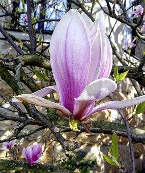 Nature, Flower, Tree, Flowers, Pink Flower, Blossom