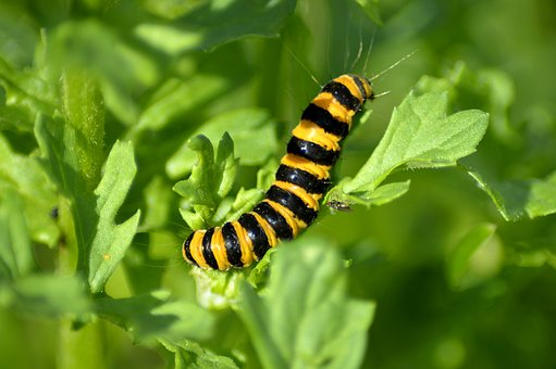 Jakobskrautbär Crawler, Caterpillar, Macro, Bright
