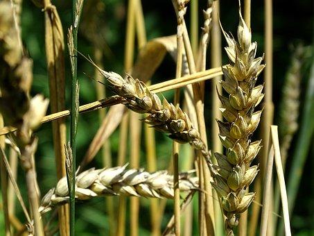 Wheat, Cereals, Grain, Wheat Grains