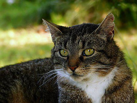 Animal, Cat, Domestic Cat, Felis Silvestris Catus