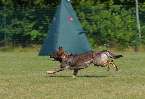 German Shepherd Dog, Running, Dog, Animal, Competition