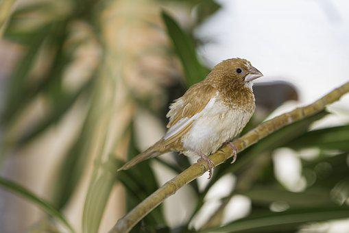 Society Finches, Society, Finches, Japan, Feathers