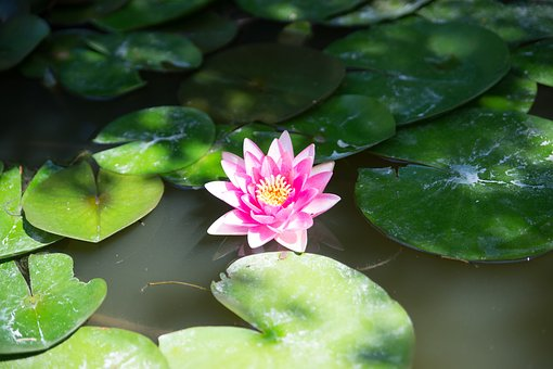Nimes, Water Lilies, Flower, Pond, Pink, Mare