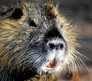 My Friend, Wild Nutria, Rat, Cute, Water Rat, Rodent