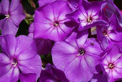Phlox, Flame Flower, High Perennial Phlox