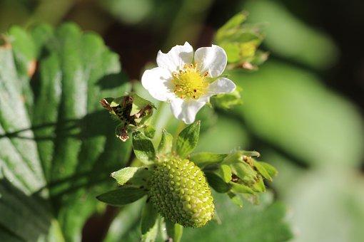 Strawberry, Strawberry Flower, Bloom, Fruit, Bill Berry