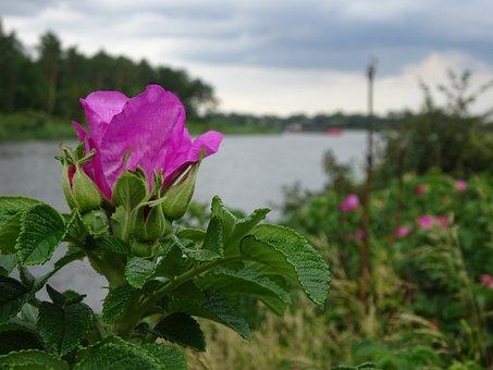 Wild Rose, Channel, Embankment, Summer, Clouds Dark