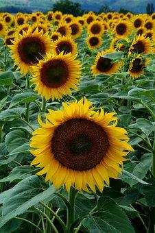 Flora, Nature, Flower, Sunflower, Fruit, Yellow