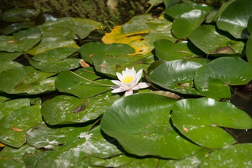 Flower, Nimes, Water Lilies, Mare, Garden, Yellow