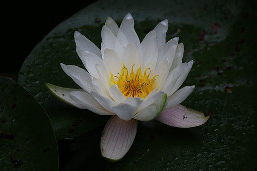 Water Lily, Aquatic, White Water Lily, Plants, Pond
