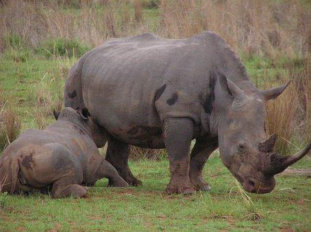 Rhino, Baby, Mother, Feeding, Milk, Animal, Rhinoceros