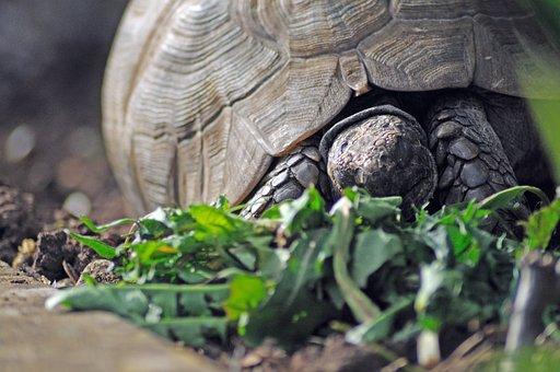 Tortoise, Reptile, Animal