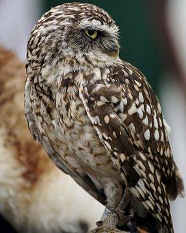 Burrowing, Owl, Animal World, Small, Bird, Feather
